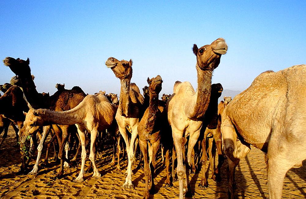 Camel fair in Pushkar, Rajasthan, India - 817-128635