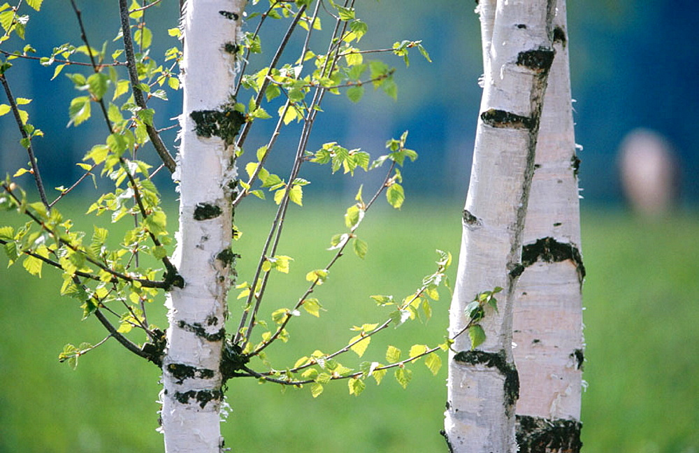 Birches (Betula sp.), Bavaria, Germany