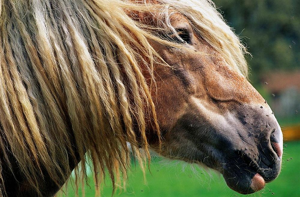 Farm horse, Bavaria, Germany