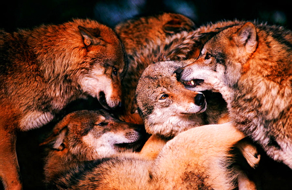 Wolves (Canis lupus), hierarchical ceremony: greeting each other after waking up, Bayerwald-Tierpark preserve, Bavaria, Germany