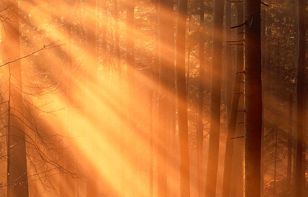 Foggy Bavarian forest, late autumn, Beeches (Fagus sylvatica) and Spruces (Picea abies)