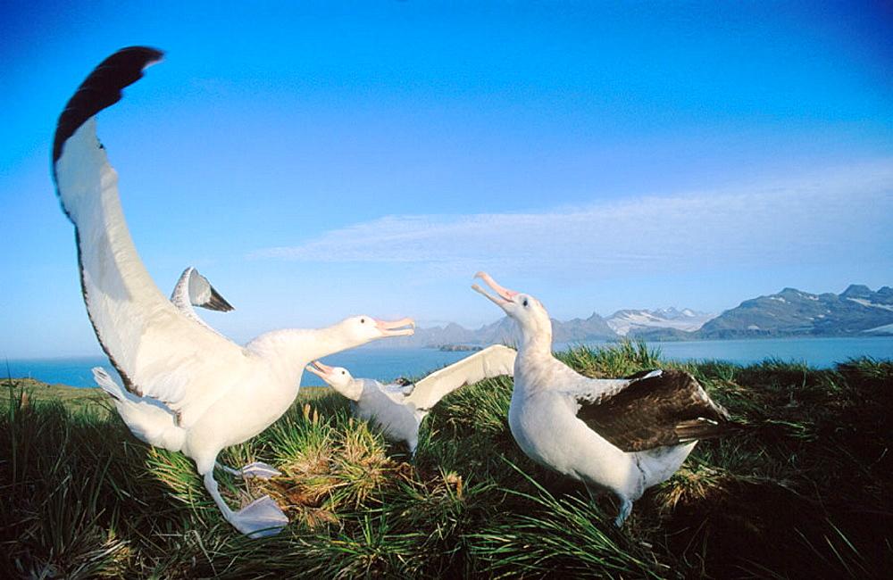 Wandering Albatross (Diomedea exulans), South Georgia