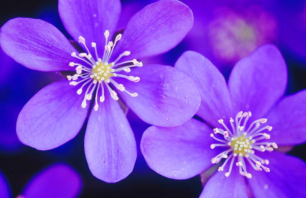 Close up of the violet Liverleaf flower