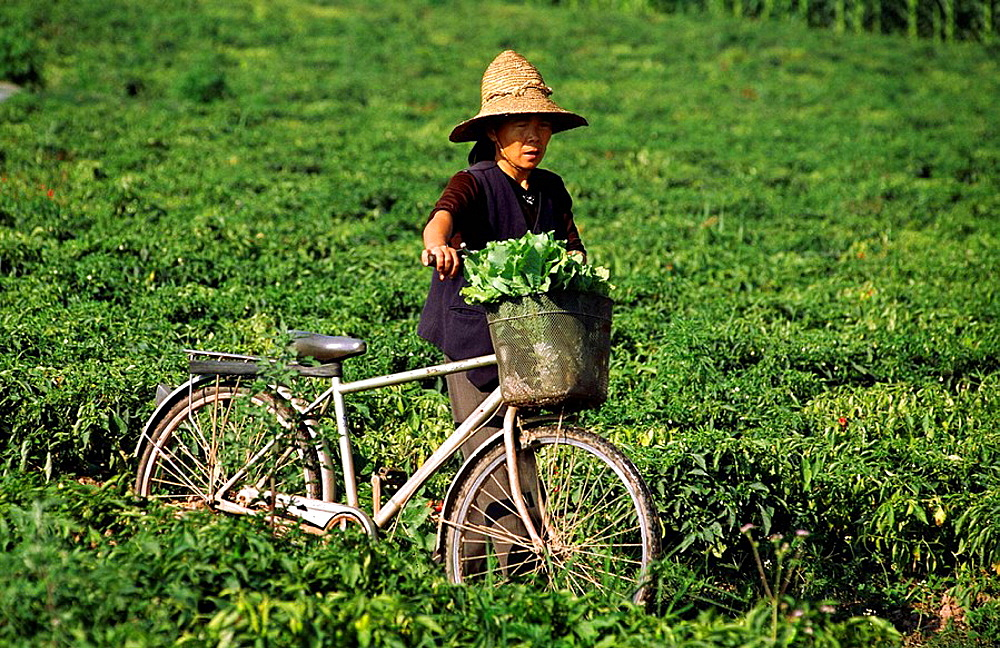 Woman collecting cabbage from her field, Xishuangbanna, Yunnan, China