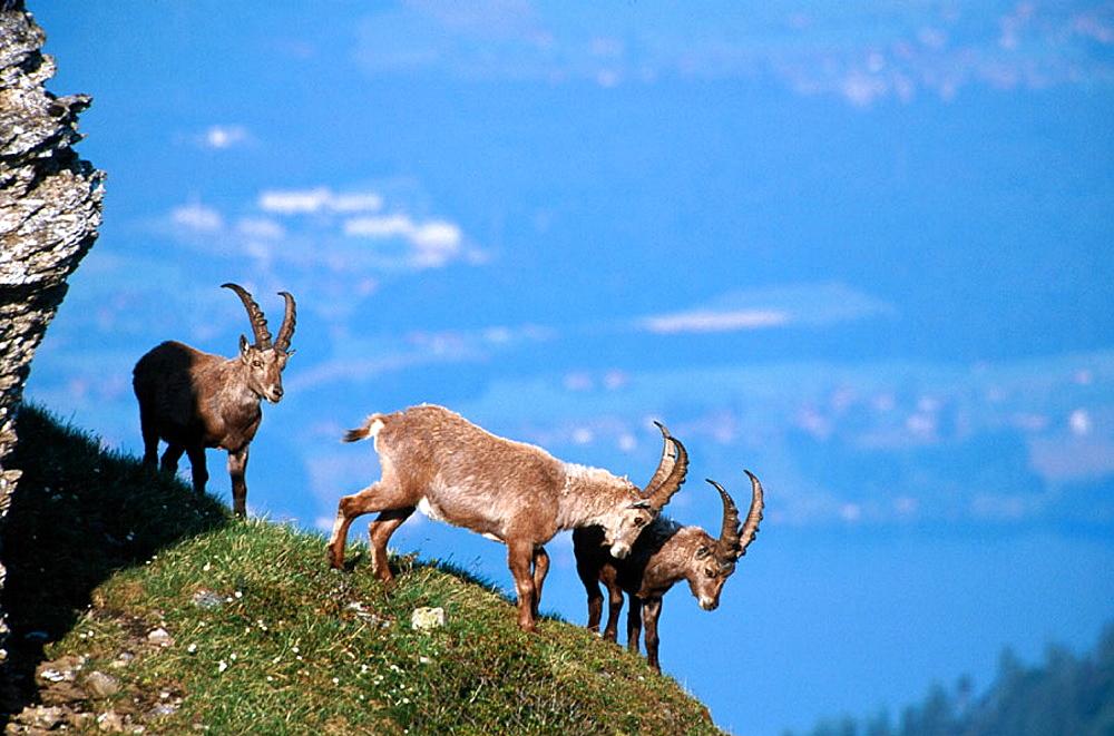 Rock Goats (Capra ibex), Alps, Switzerland