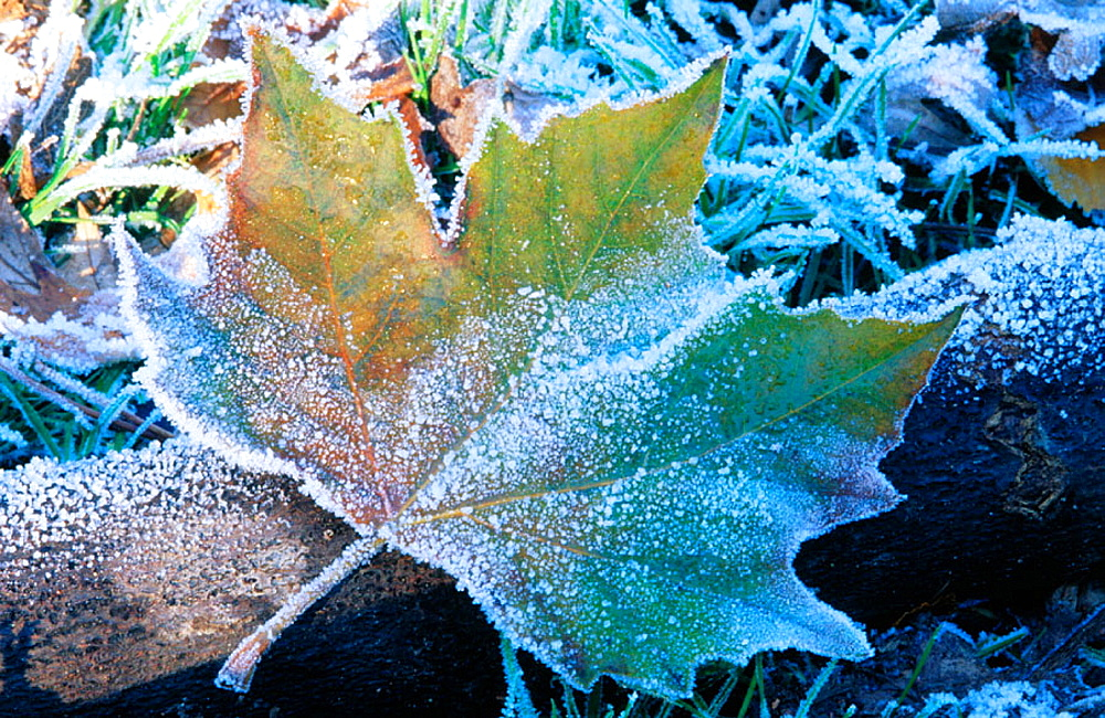 Frosted maple leaf - 817-13472