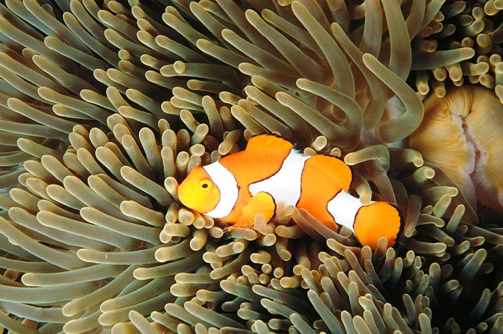 Clown Anemonefish (Amphiprion percula), Papua New Guinea