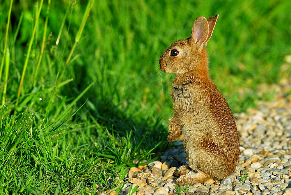 Rabbit, May, Bavaria, Germany