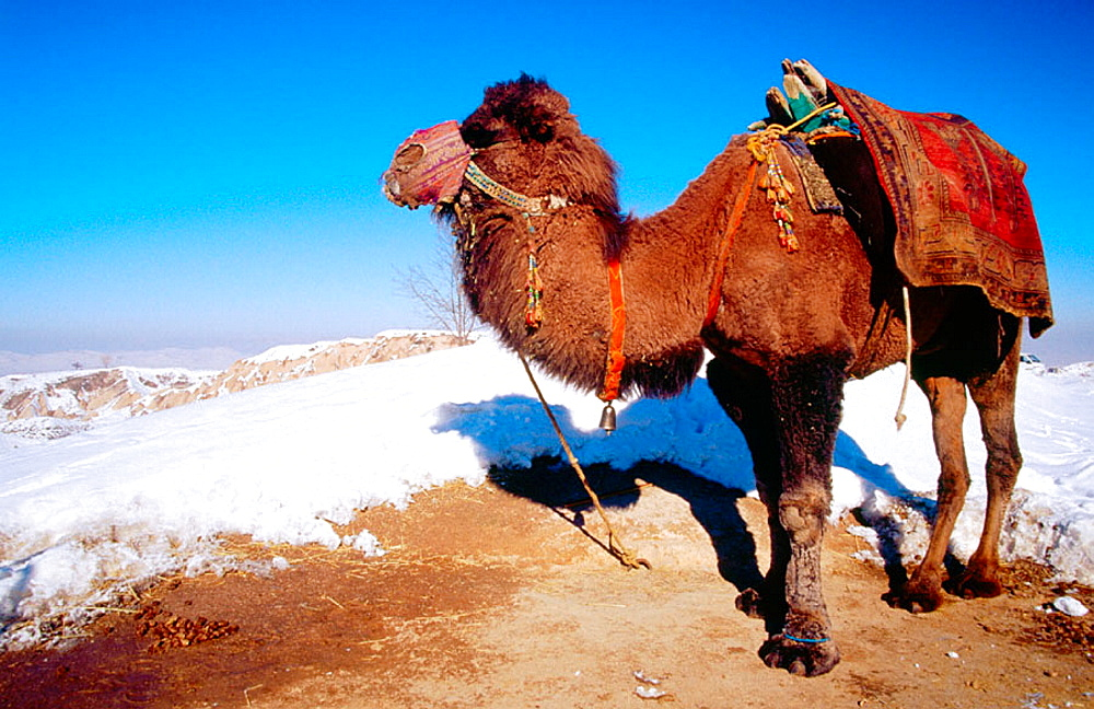 Bactrian Camel, Uchisar, Capadocia, Turkey