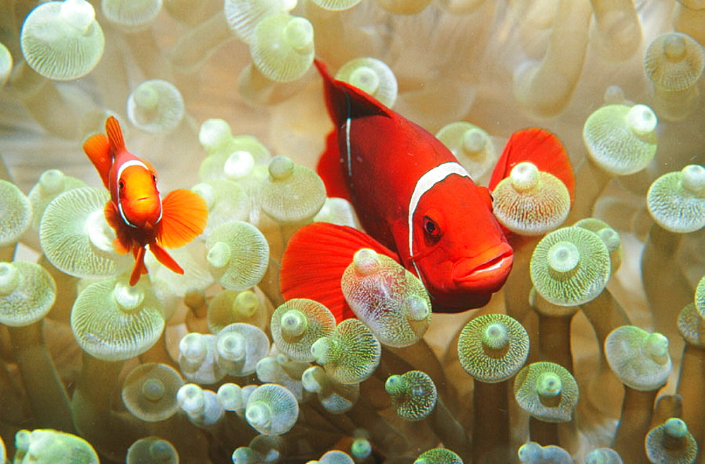 Spinecheek Anemonefish (Premnas biaculeatus), female and male in anemone, Papua New Guinea - 817-13786