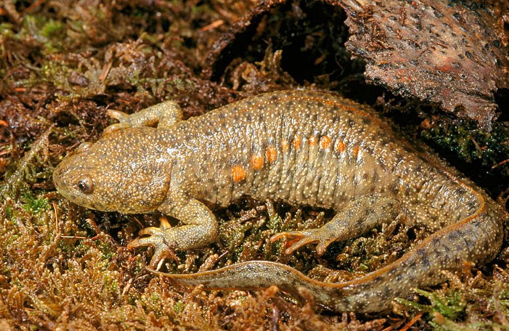 Sharp-ribbed Salamander (Pleurodeles walt)