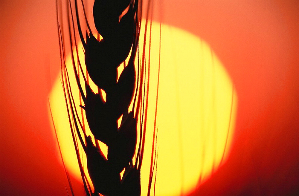 Wheat silhouette with bright sun background, Walla Walla Valley, Washington, USA