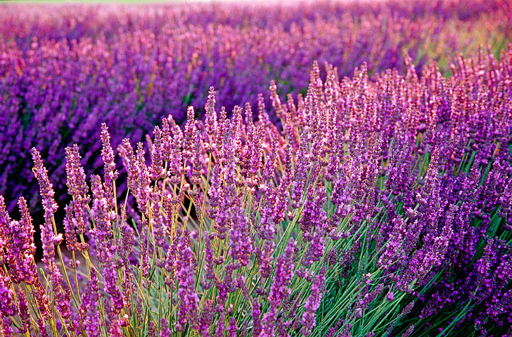 Backlit lavender at sunrise, Walla Walla County, Washington, USA
