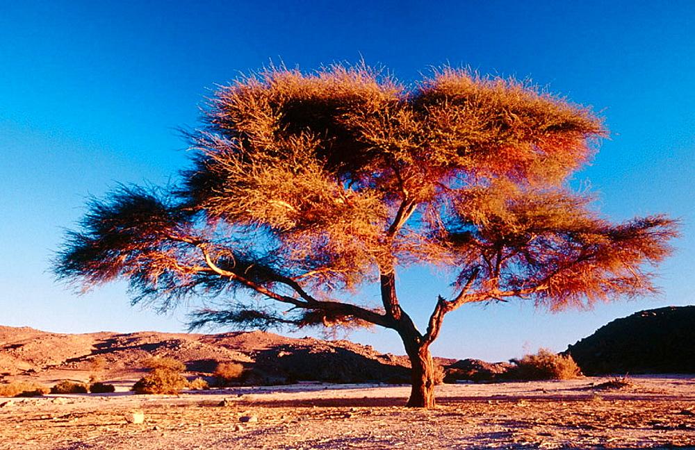 Acacia, Tamanrasset, Sahara desert, Algeria