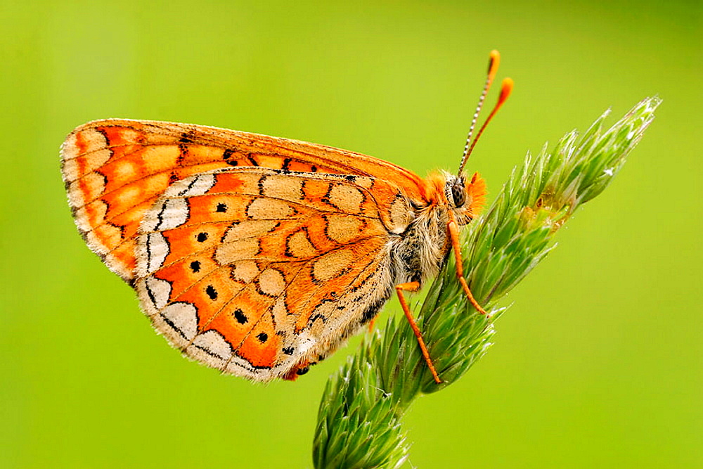Butterfly Brenthis hecate - Twin-spot Fritillary photographed in Slovenia