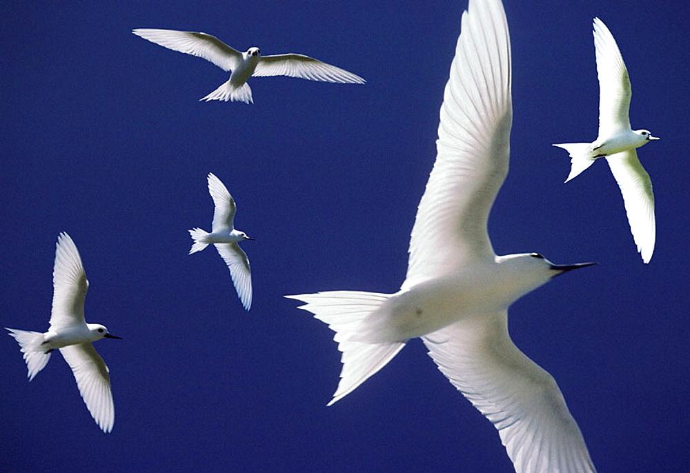 Marine birds, Tikehau Atoll, French Polynesia, Oceania - 817-141503