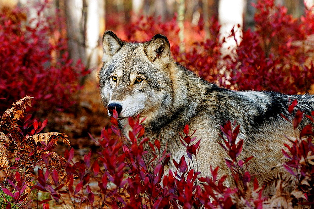 Gray wolf (Canis lupus) peering from blueberry bushes in fall, Northern Minnesota, USA