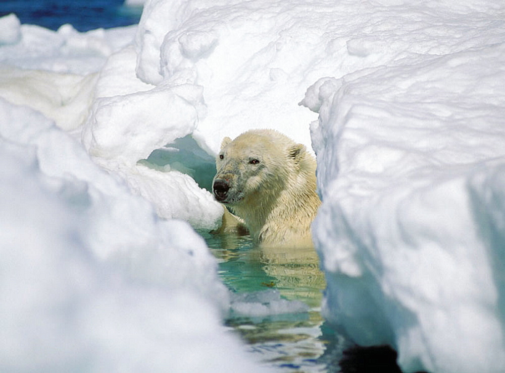 Male polar bear (Ursus maritimus) hiding under ice flow, Wager Bay, Canadian Arctic