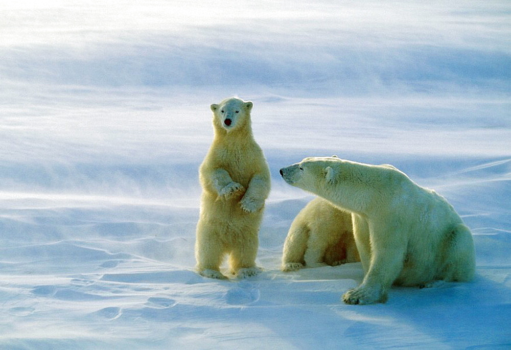 Polar bear sow and cubs (Ursus maritimus) standing to watch approaching bear, Churchill, Manitoba, Canada - 817-145208