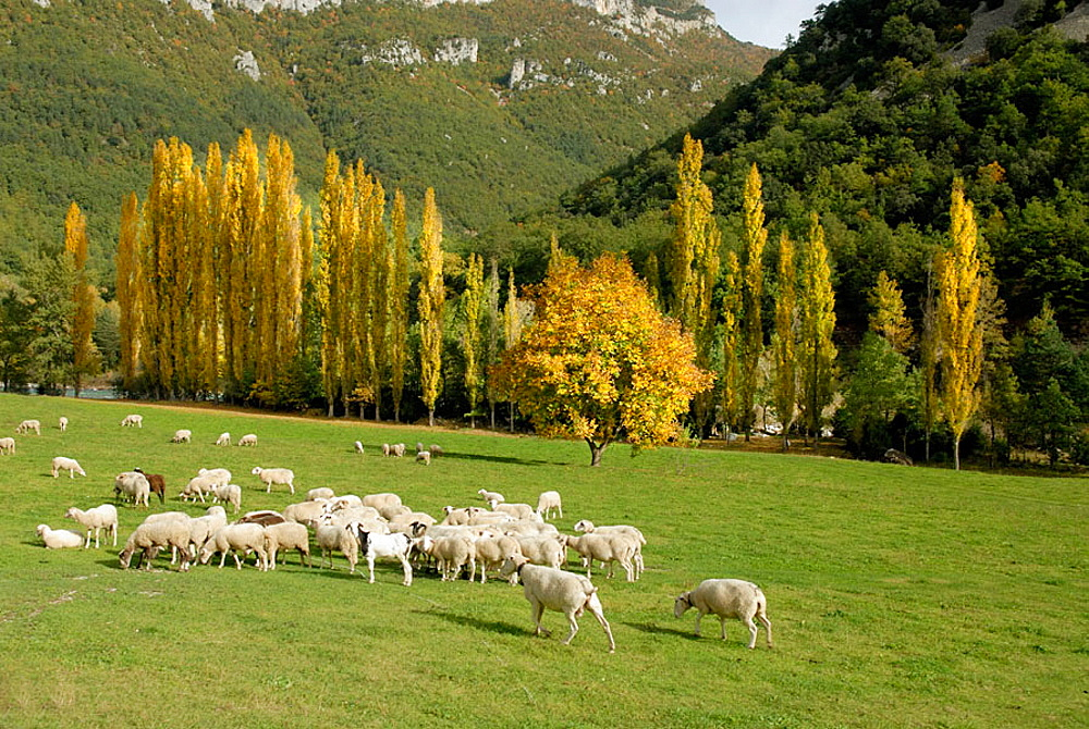 Flock, Pyrenees Mountains, Huesca province, Aragon, Spain