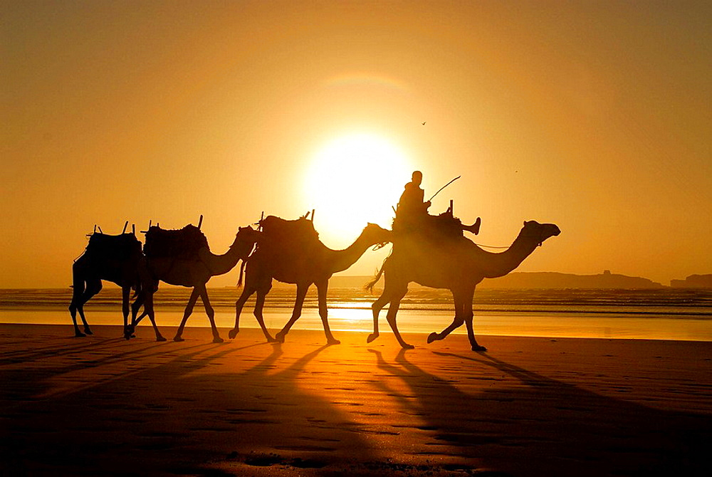 Camels on the beach of Essaouira, Morocco