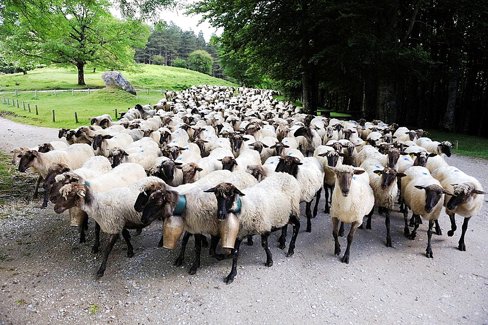 Transhumance to higher pastures in Urbia from 'caserio' (typical farm) in the lowland, Basque Country, Spain