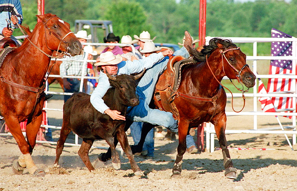 Steer wrestling at a small rodeo, Michigan, USA