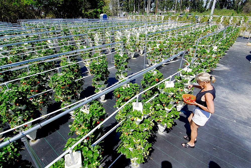 Hydroponic Strawberry Farming in Ruskin Florida Tampa Hillsborough County Gulf West Centrall, USA
