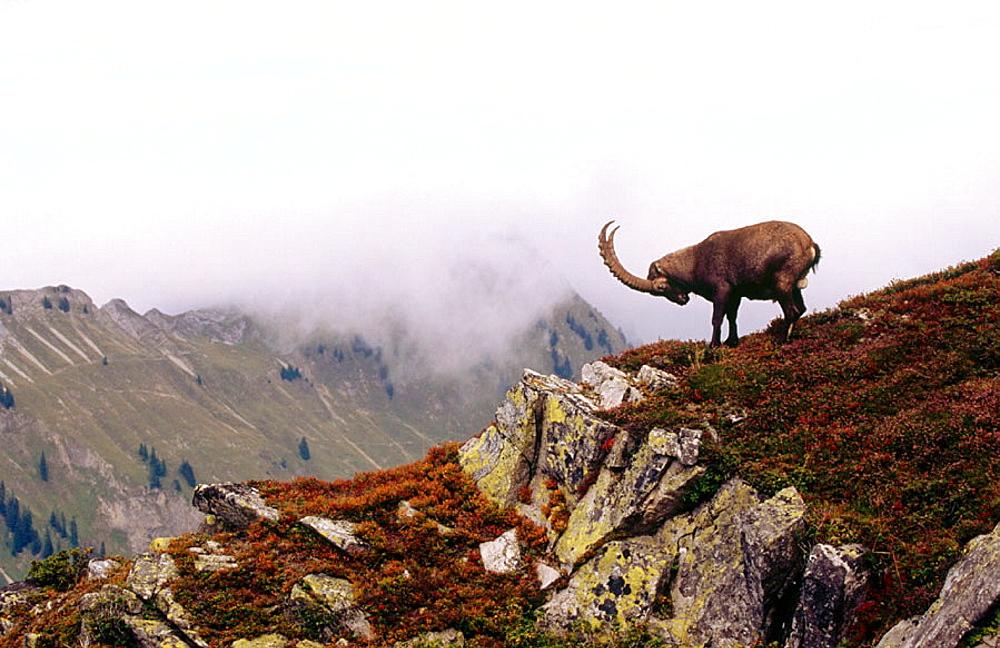 Steinbock (Capra ibex), Niderhorn, Bernese Alps, Switzerland