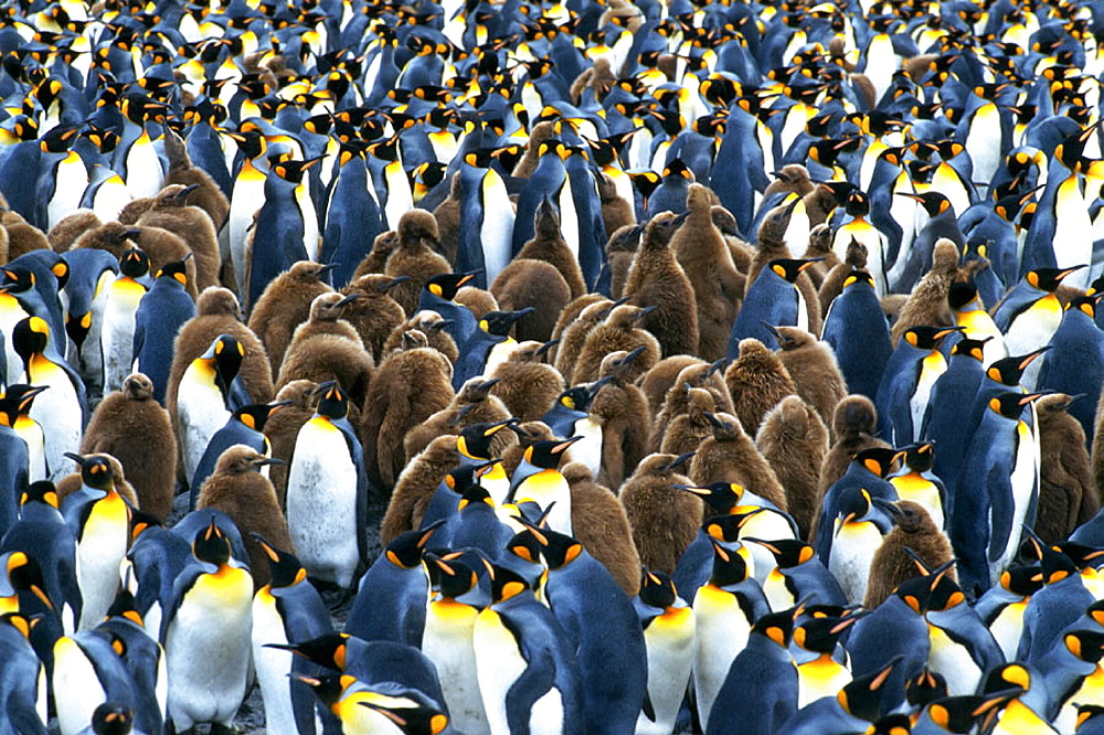King Penguins (Aptenodytes patagonicus) and yearling chicks, South Georgia, United Kingdom