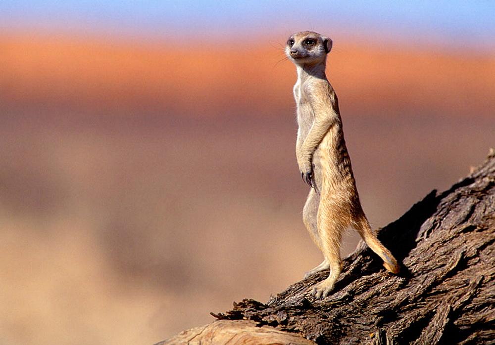 Meerkat (Suricata suricatta), sunbathing, Kgalagadi Transfrontier Park, Kalahari, South Africa