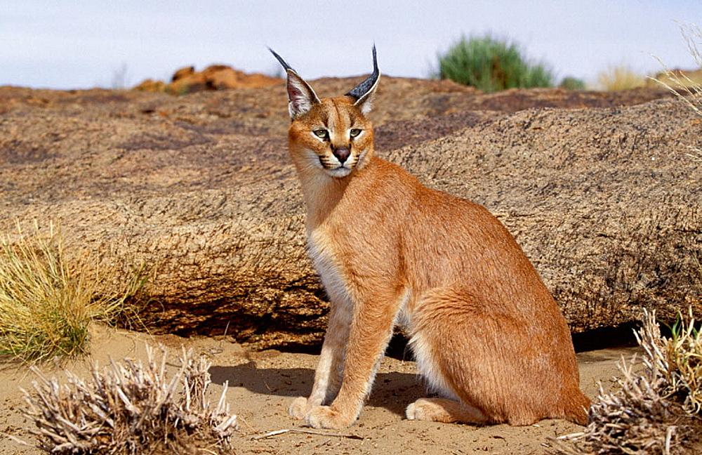 Caracal (Felis caracal), Augrabies Falls National Park, N, Cape, South Africa