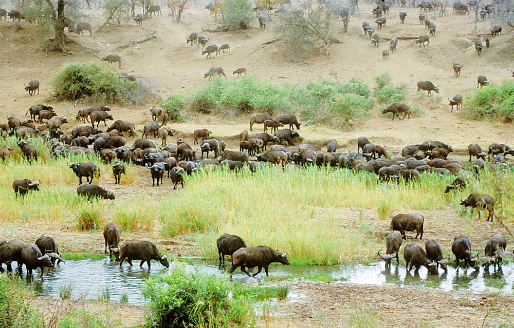 Cape Buffalo, Syncerus caffer, Large herd at Shingwedzi River, Kruger National Park, South Africa - 817-14995