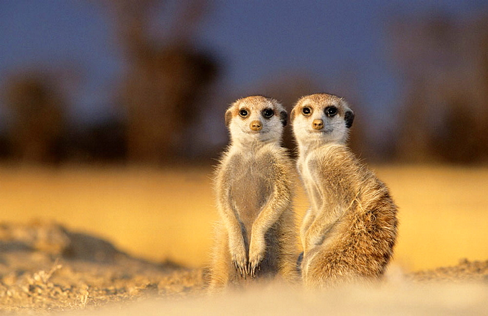 Meerkat or suricate (Suricata suricatta), Kgalagadi Transfrontier Park, Kalahari, South Africa.