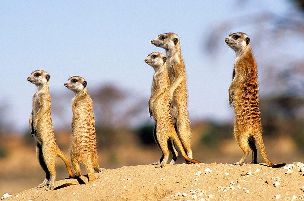 Meerkat or suricate (Suricata suricatta) watching fror predators, Kgalagadi Transfrontier Park, Kalahari, South Africa.