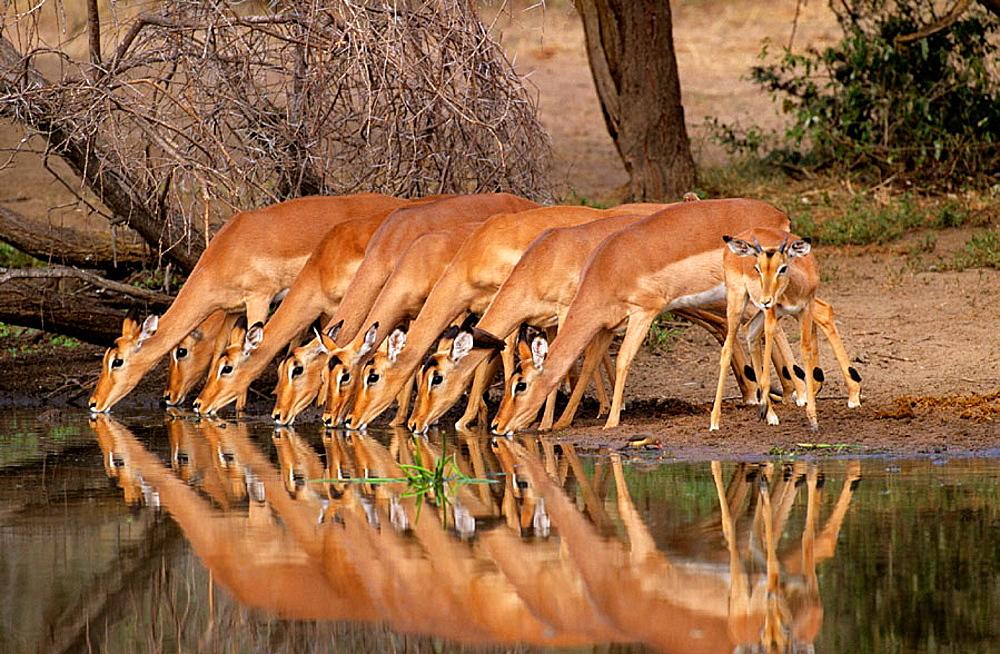Impalas (Aepyceros melampus), Kruger National Park, South Africa - 817-15069