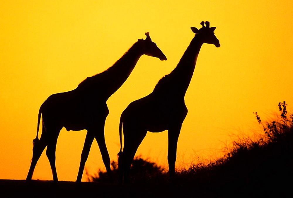 Giraffe (Giraffa camelopardalis) at dusk, Kruger National Park, South Africa - 817-15084