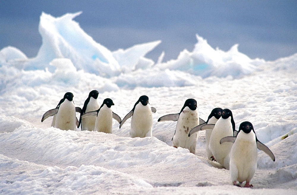 Adelie Penguin (Pygoscelis adeliae), commuters travelling down well worn pathways, Franklin Island, Ross Sea, Antarctica