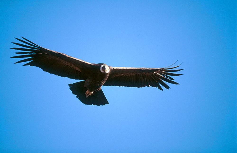 Andean Condor (Vultur gryphus), Colca Canyon, Peru - 817-151627