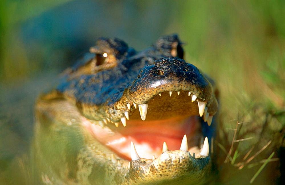Yacare Caiman (Caiman crocodylus yacare), Pantanal, Brazil