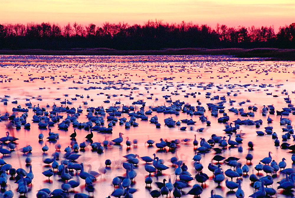 Migrating Snow Geese in Delaware, USA
