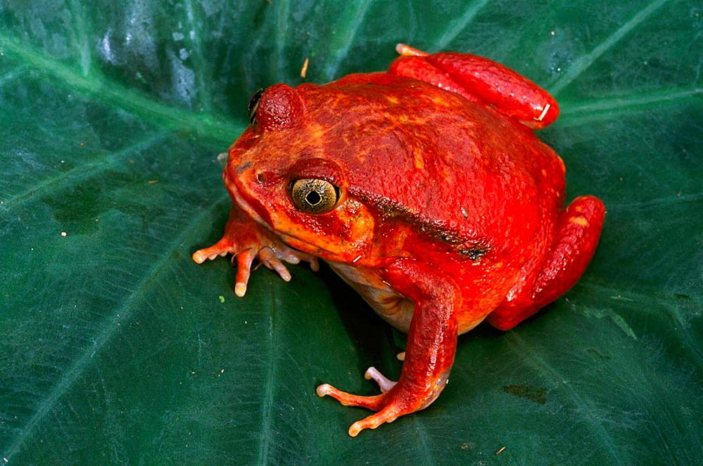 Tomato Frog (Dyscophus antongilii), Madagascar - 817-15207