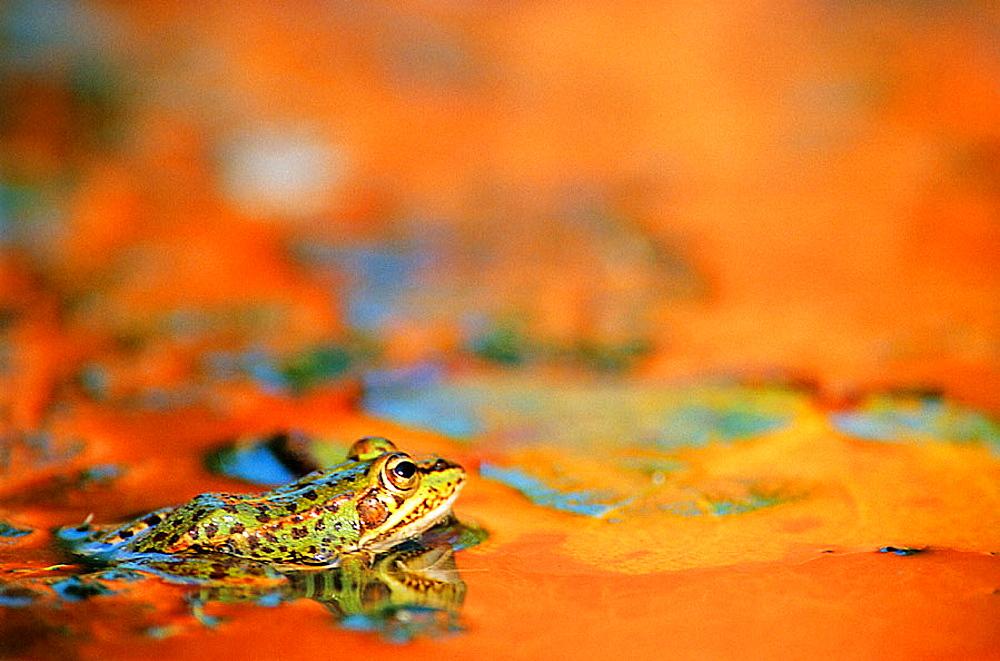 Frog (Rana perezi) - 817-152175