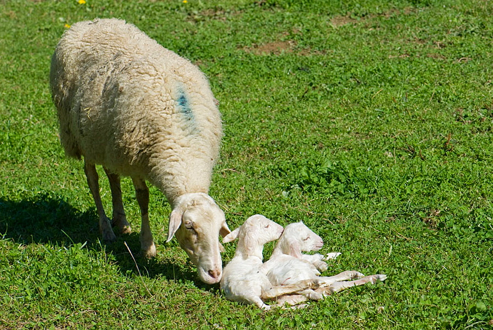Sheep caring after two newborn lambs