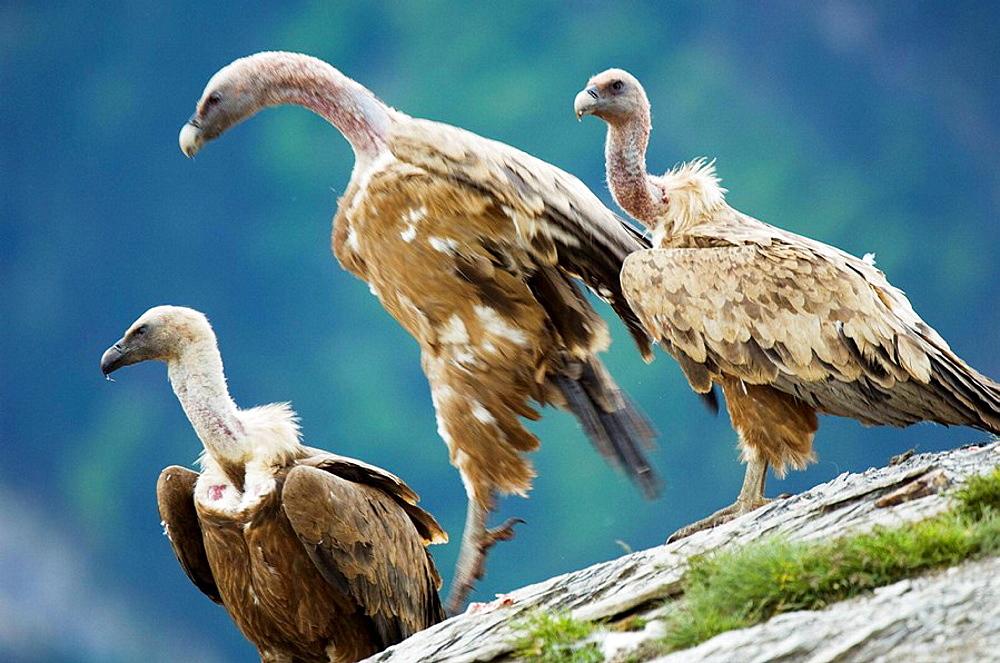 Griffon Vulture (Gyps fulvus) in a feeding facility for necrophagous birds, Ordesa NP, Spain