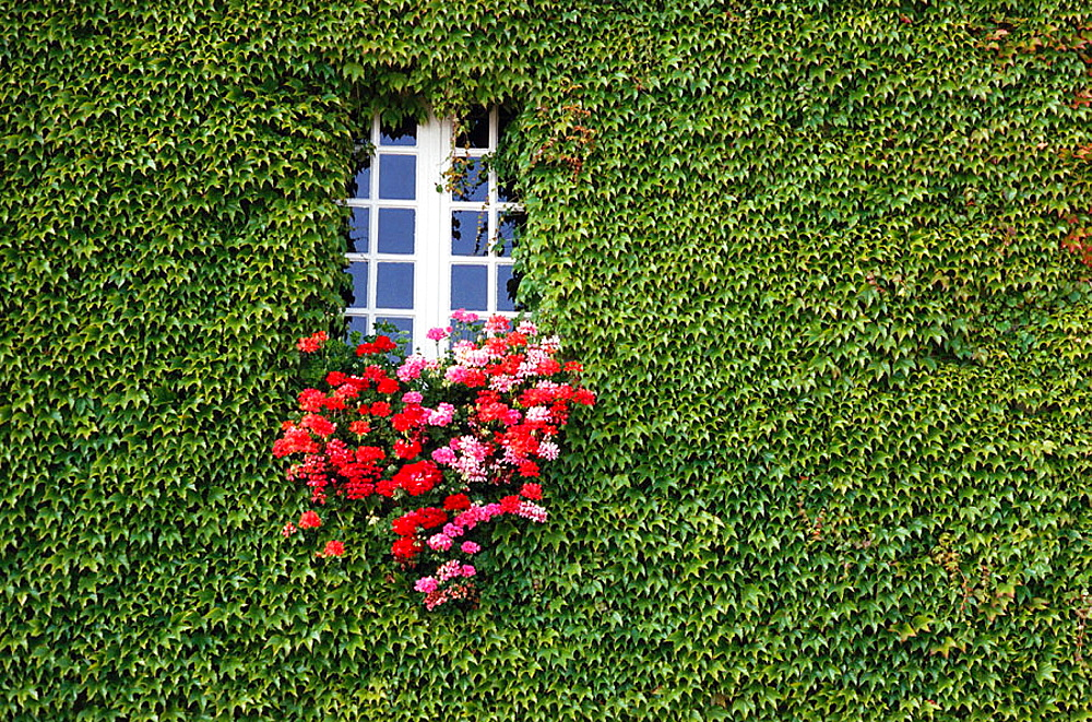 Ivy and window, St, Malo, Brittany, France