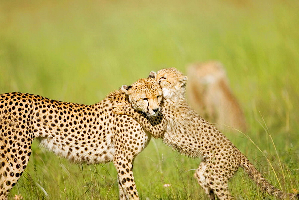 Cheetah cub plays with mother in the Masai Mara