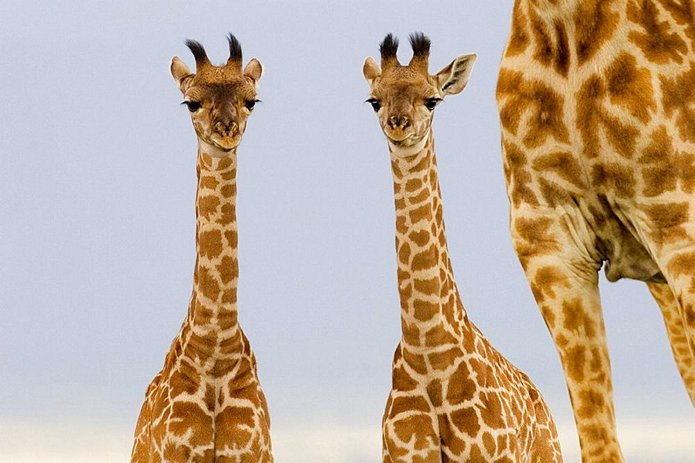 2 Newborn Masai Giraffe on the Masai Mara - 817-155755