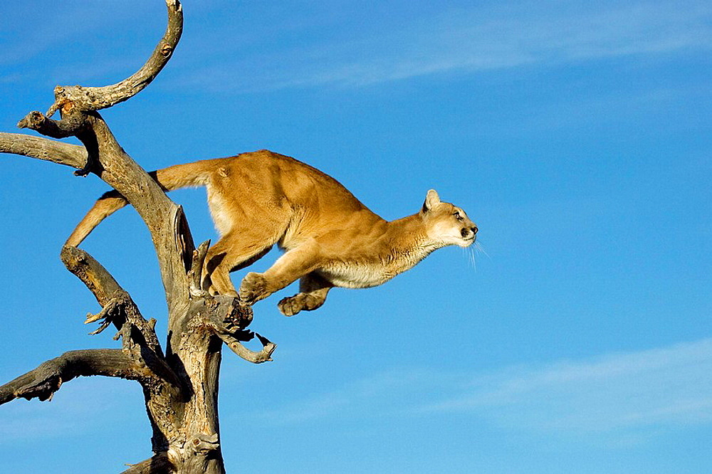 Cougar prepares to jump into a tree