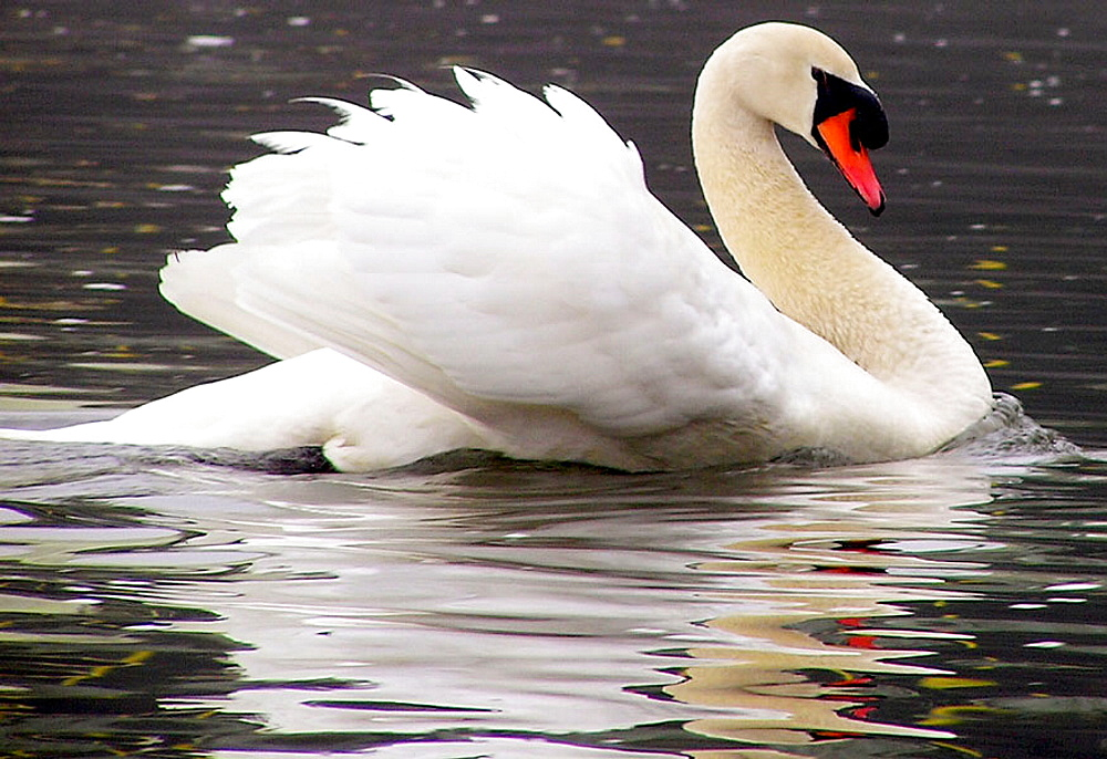 Swan displaying: a swan in the Delaware River shows off its plummage